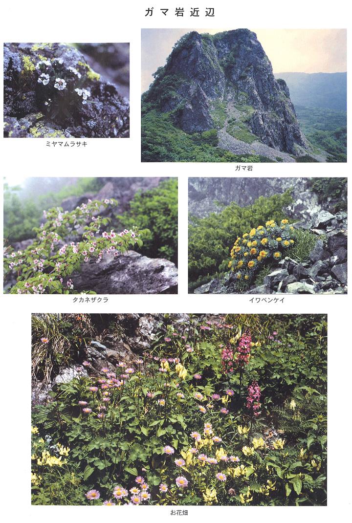 ガマ岩付近 ミヤマムラサキ タ力ネザクラ イワベンケイ