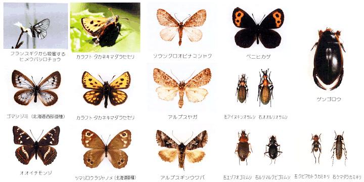 夕張岳の昆虫1
